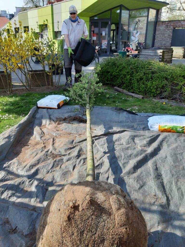 Ein Baum mit einem Wurzelballen liegt auf einer Plane. Eine Person mit einem Pflanzsack kommt auf die Plane